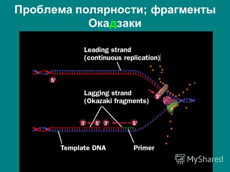 Проблема полярности; фрагменты Окадзаки