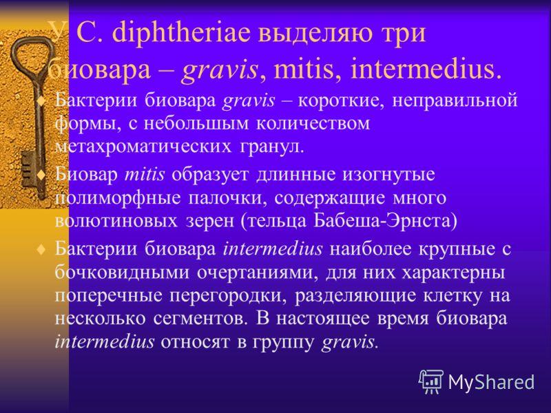 У C. diphtheriae выделяю три биовара – gravis, mitis, intermedius. Бактерии биовара gravis – короткие, неправильной формы, с небольшым количеством метахроматических гранул. Биовар mitis образует длинные изогнутые полиморфные палочки, содержащие много