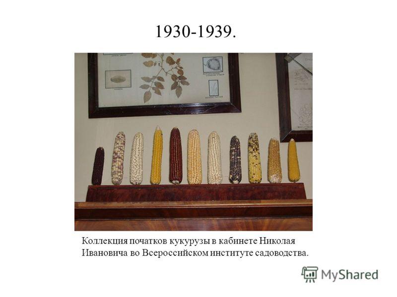 1930-1939. Коллекция початков кукурузы в кабинете Николая Ивановича во Всероссийском институте садоводства.