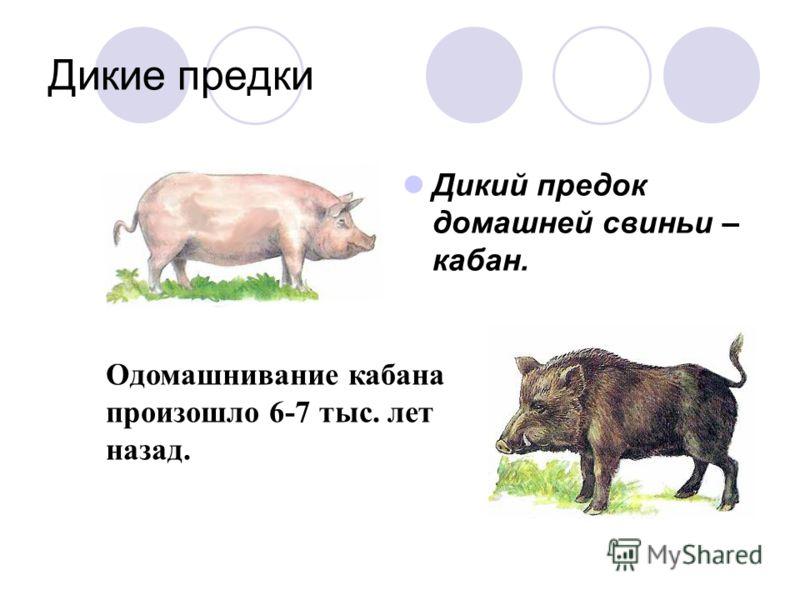 Дикие предки Дикий предок домашней свиньи – кабан. Одомашнивание кабана произошло 6-7 тыс. лет назад.