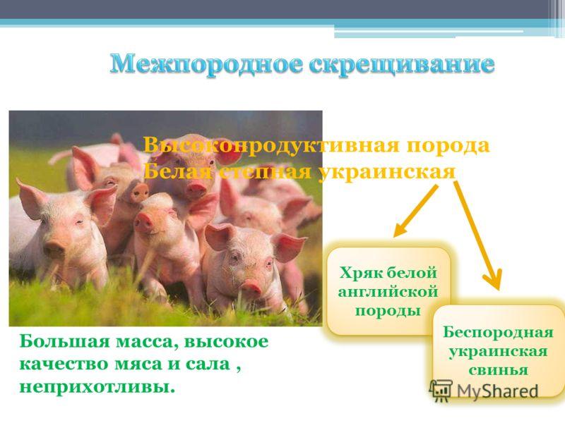 Высокопродуктивная порода Белая степная украинская Хряк белой английской породы Хряк белой английской породы Беспородная украинская свинья Беспородная украинская свинья Большая масса, высокое качество мяса и сала, неприхотливы.