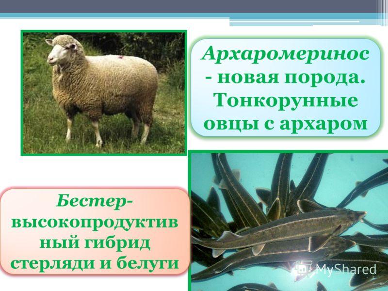 Архаромеринос - новая порода. Тонкорунные овцы с архаром Архаромеринос - новая порода. Тонкорунные овцы с архаром Бестер- высокопродуктив ный гибрид стерляди и белуги Бестер- высокопродуктив ный гибрид стерляди и белуги