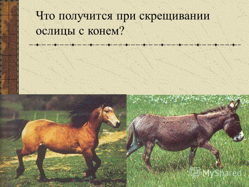 Что получится при скрещивании ослицы с конем?