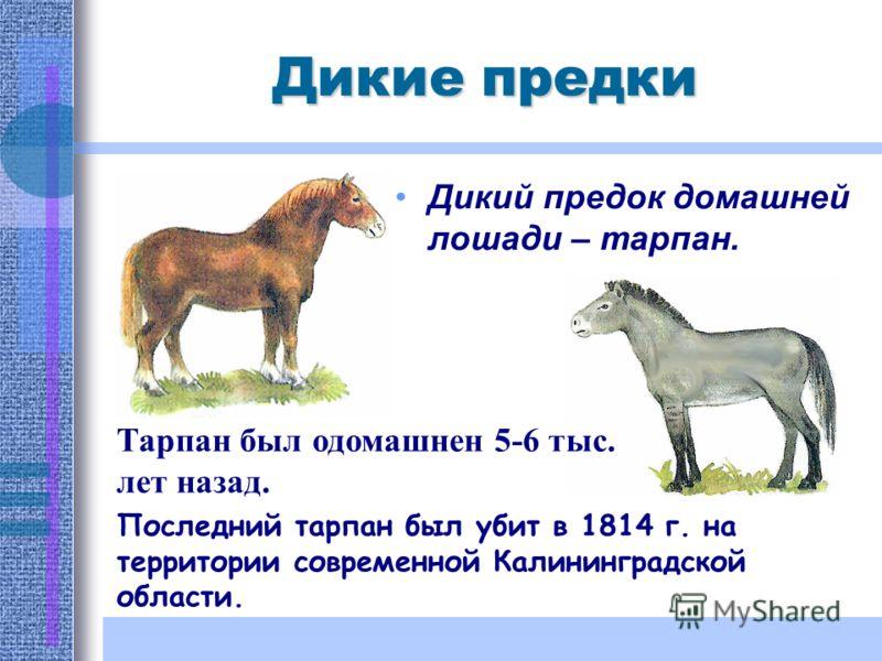 Дикие предки Дикий предок домашней лошади – тарпан. Тарпан был одомашнен 5-6 тыс. лет назад. Последний тарпан был убит в 1814 г. на территории современной Калининградской области.
