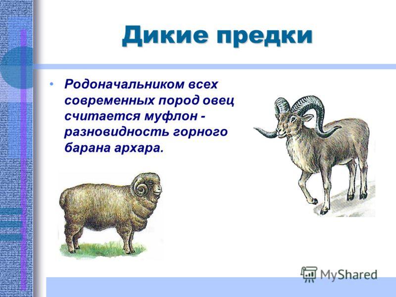Родоначальником всех современных пород овец считается муфлон - разновидность горного барана архара.