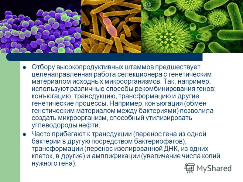 Отбору высокопродуктивных штаммов предшествует целенаправленная работа селекционера с генетическим материалом исходных микроорганизмов. Так, например, используют различные способы рекомбинирования генов: конъюгацию, трансдукцию, трансформацию и други