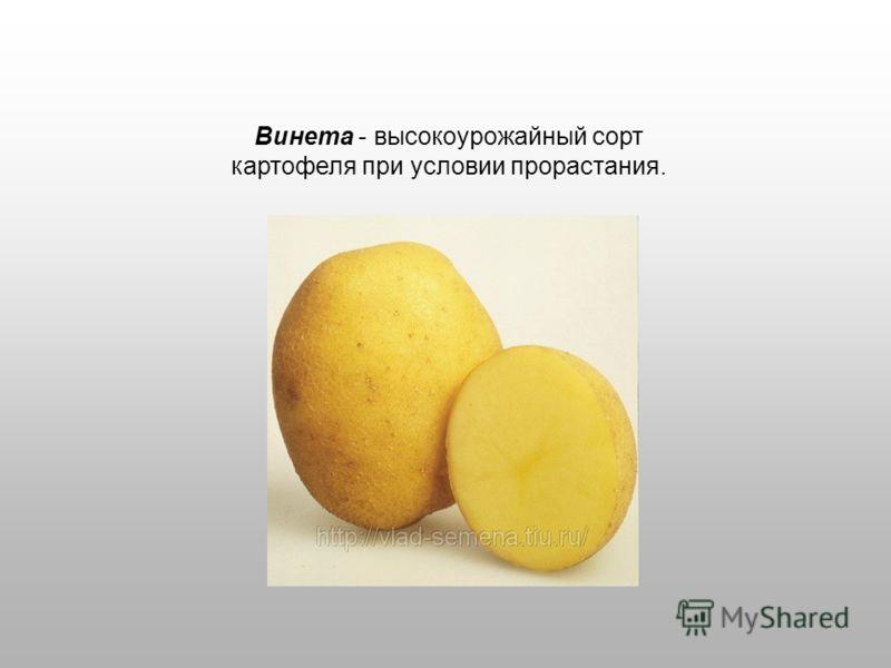 Винета - высокоурожайный сорт картофеля при условии прорастания.