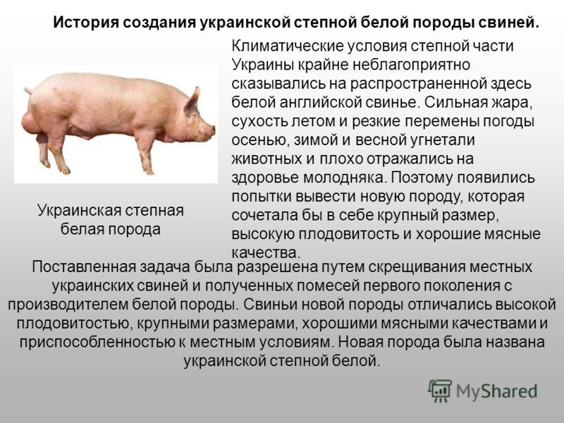 Климатические условия степной части Украины крайне неблагоприятно сказывались на распространенной здесь белой английской свинье. Сильная жара, сухость летом и резкие перемены погоды осенью, зимой и весной угнетали животных и плохо отражались на здоро