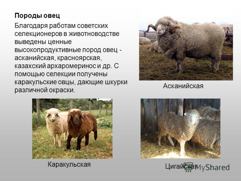 Благодаря работам советских селекционеров в животноводстве выведены ценные высокопродуктивные пород овец - асканийская, красноярская, казахский архаромеринос и др. С помощью селекции получены каракульские овцы, дающие шкурки различной окраски. Породы