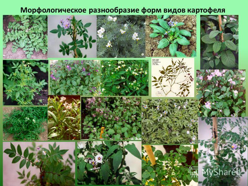 Морфологическое разнообразие форм видов картофеля