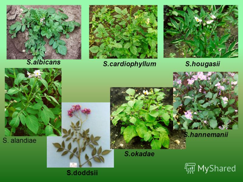 S.albicans S.cardiophyllumS.hougasii S.doddsii S.okadae S.hannemanii S. alandiae