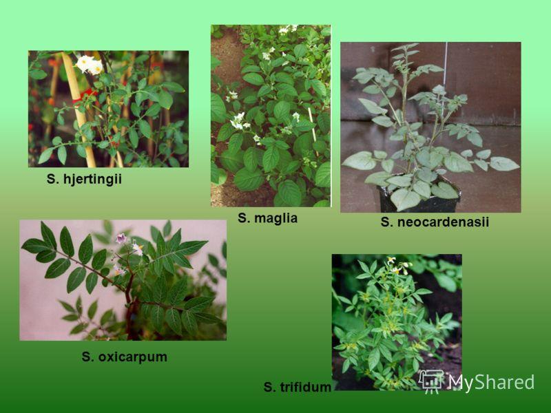 S. hjertingii S. maglia S. neocardenasii S. oxicarpum S. trifidum