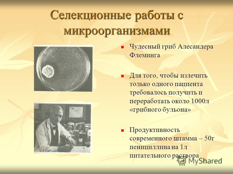 Селекционные работы с микроорганизмами Чудесный гриб Алесандера Флеминга Чудесный гриб Алесандера Флеминга Для того, чтобы излечить только одного пациента требовалось получить и переработать около 1000л «грибного бульона» Для того, чтобы излечить тол