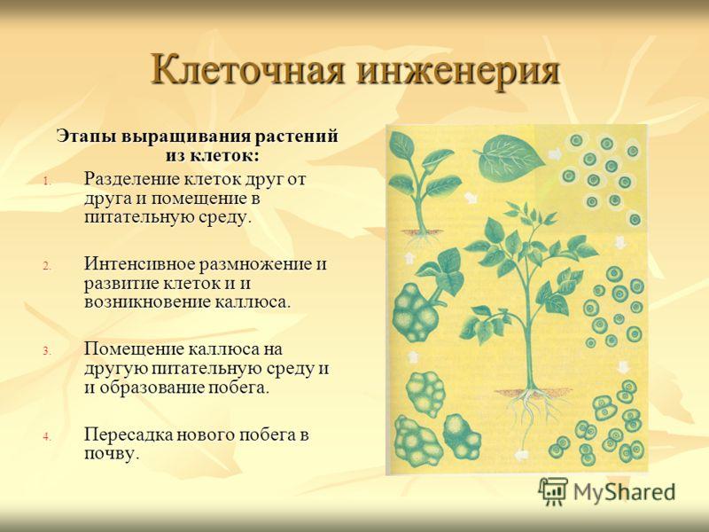 Клеточная инженерия Этапы выращивания растений из клеток: Этапы выращивания растений из клеток: 1. Разделение клеток друг от друга и помещение в питательную среду. 2. Интенсивное размножение и развитие клеток и и возникновение каллюса. 3. Помещение к