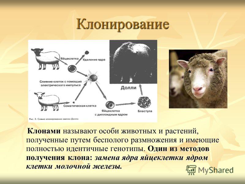 Клонирование Клонами называют особи животных и растений, полученные путем бесполого размножения и имеющие полностью идентичные генотипы. Один из методов получения клона: замена ядра яйцеклетки ядром клетки молочной железы. Клонами называют особи живо