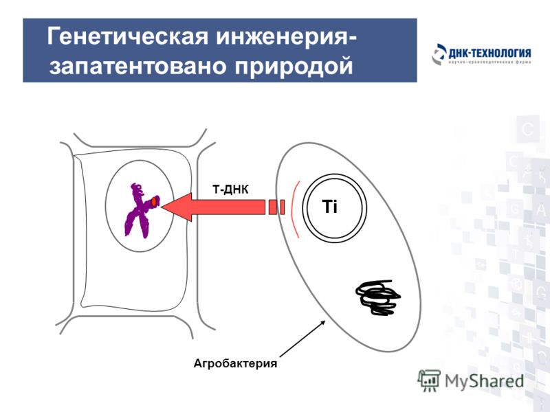 Генетическая инженерия- запатентовано природой Ti Агробактерия Т-ДНК