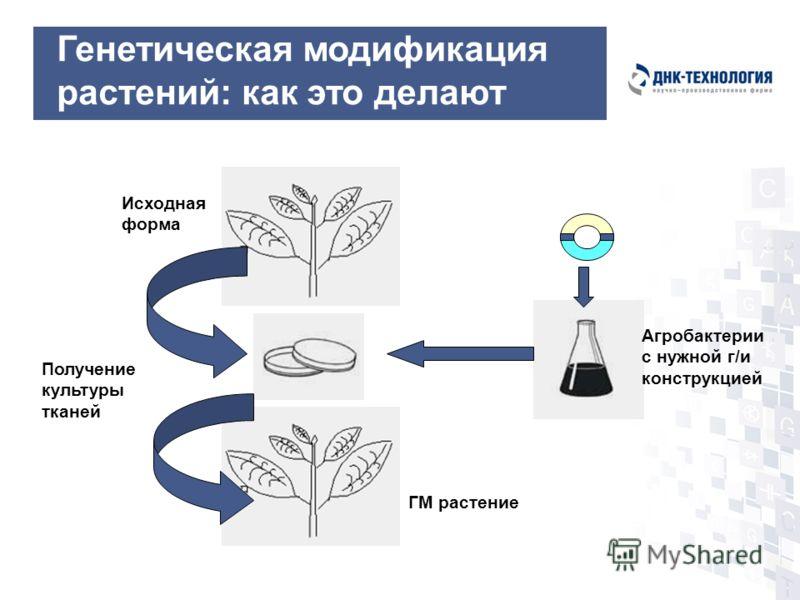 Получение культуры тканей Исходная форма ГМ растение Агробактерии с нужной г/и конструкцией Генетическая модификация растений: как это делают