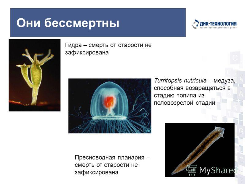 Они бессмертны Turritopsis nutricula – медуза, способная возвращаться в стадию полипа из половозрелой стадии Гидра – смерть от старости не зафиксирована Пресноводная планария – смерть от старости не зафиксирована