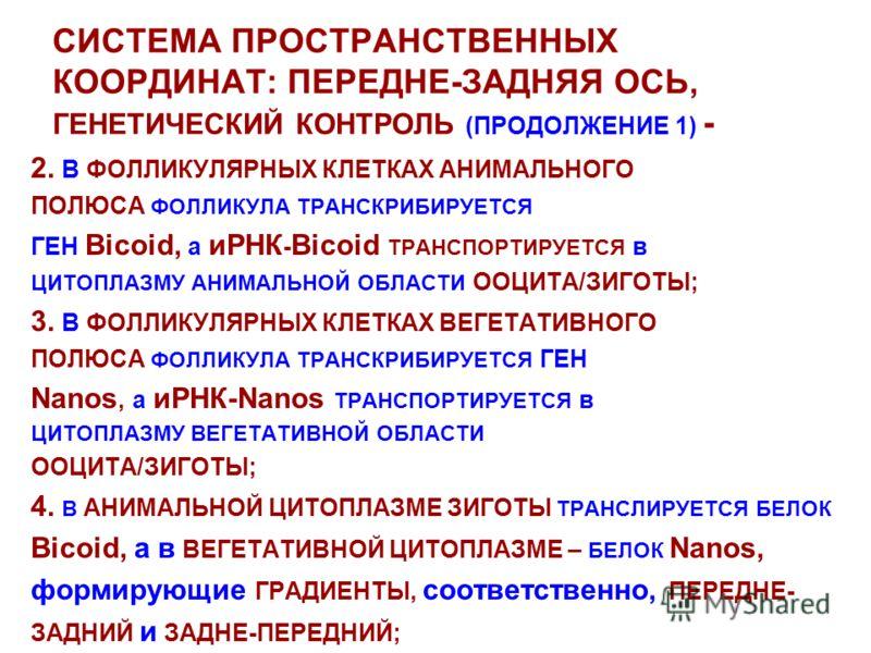 СИСТЕМА ПРОСТРАНСТВЕННЫХ КООРДИНАТ: ПЕРЕДНЕ-ЗАДНЯЯ ОСЬ, ГЕНЕТИЧЕСКИЙ КОНТРОЛЬ (ПРОДОЛЖЕНИЕ 1) - 2. В ФОЛЛИКУЛЯРНЫХ КЛЕТКАХ АНИМАЛЬНОГО ПОЛЮСА ФОЛЛИКУЛА ТРАНСКРИБИРУЕТСЯ ГЕН Bicoid, а иРНК - Bicoid ТРАНСПОРТИРУЕТСЯ в ЦИТОПЛАЗМУ АНИМАЛЬНОЙ ОБЛАСТИ ООЦИ