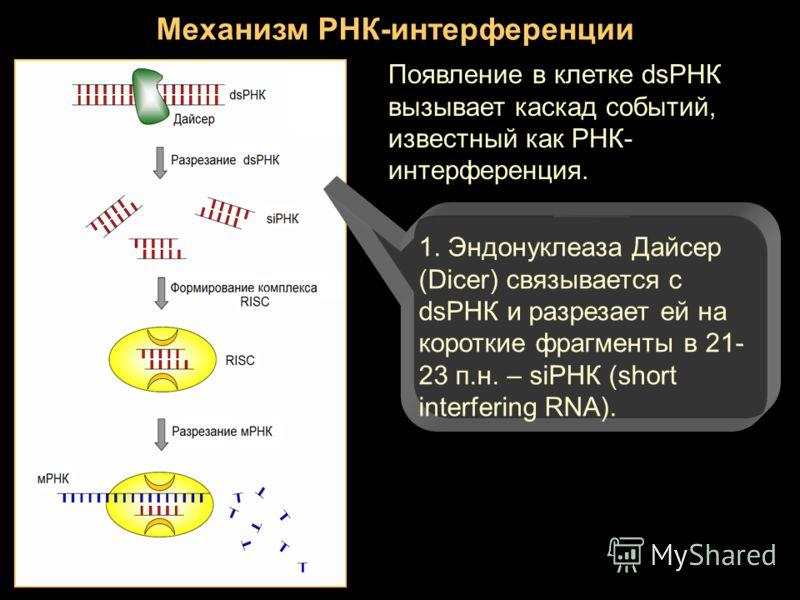 Механизм РНК-интерференции Появление в клетке dsРНК вызывает каскад событий, известный как РНК- интерференция. 1. Эндонуклеаза Дайсер (Dicer) связывается с dsРНК и разрезает ей на короткие фрагменты в 21- 23 п.н. – siРНК (short interfering RNA).