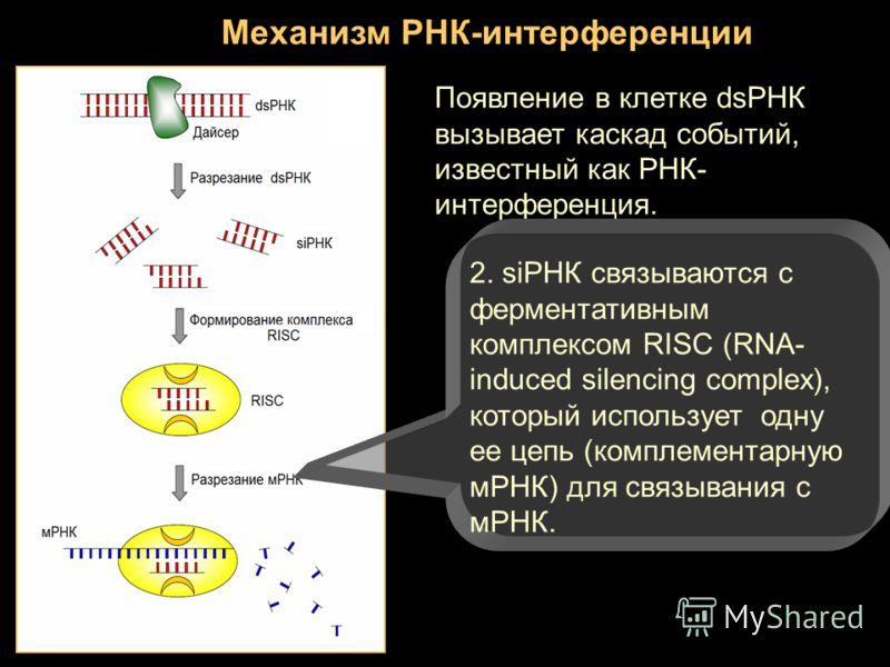 Механизм РНК-интерференции Появление в клетке dsРНК вызывает каскад событий, известный как РНК- интерференция. 2. siРНК связываются с ферментативным комплексом RISC (RNA- induced silencing complex), который использует одну ее цепь (комплементарную мР