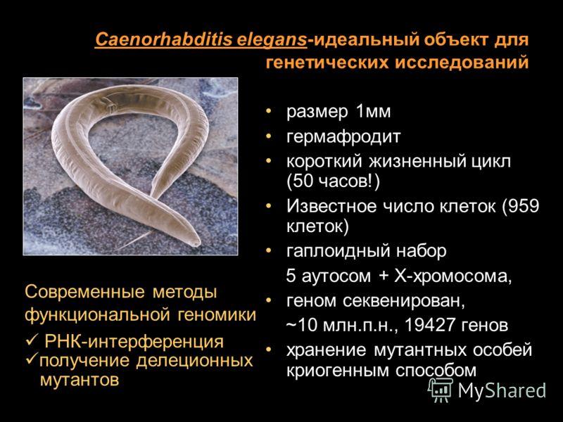 Caenorhabditis elegans-идеальный объект для генетических исследований размер 1мм гермафродит короткий жизненный цикл (50 часов!) Известное число клеток (959 клеток) гаплоидный набор 5 аутосом + Х-хромосома, геном секвенирован, ~10 млн.п.н., 19427 ген