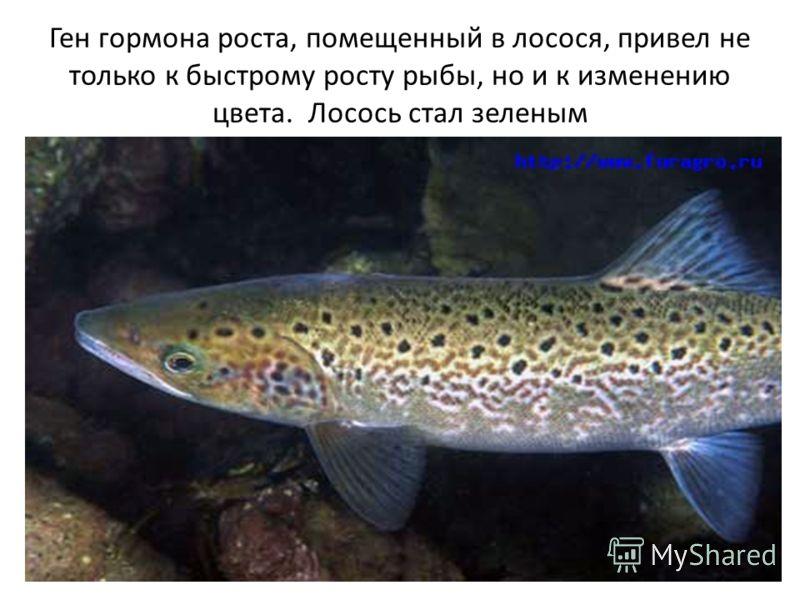 Ген гормона роста, помещенный в лосося, привел не только к быстрому росту рыбы, но и к изменению цвета. Лосось стал зеленым