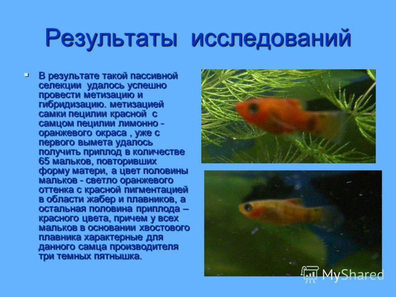 Результаты исследований В результате такой пассивной селекции удалось успешно провести метизацию и гибридизацию. метизацией самки пецилии красной с самцом пецилии лимонно - оранжевого окраса, уже с первого вымета удалось получить приплод в количестве