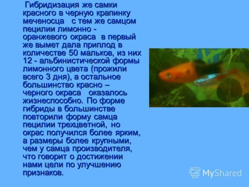 Гибридизация же самки красного в черную крапинку меченосца с тем же самцом пецилии лимонно - оранжевого окраса в первый же вымет дала приплод в количестве 50 мальков, из них 12 - альбинистической формы лимонного цвета (прожили всего 3 дня), а остальн