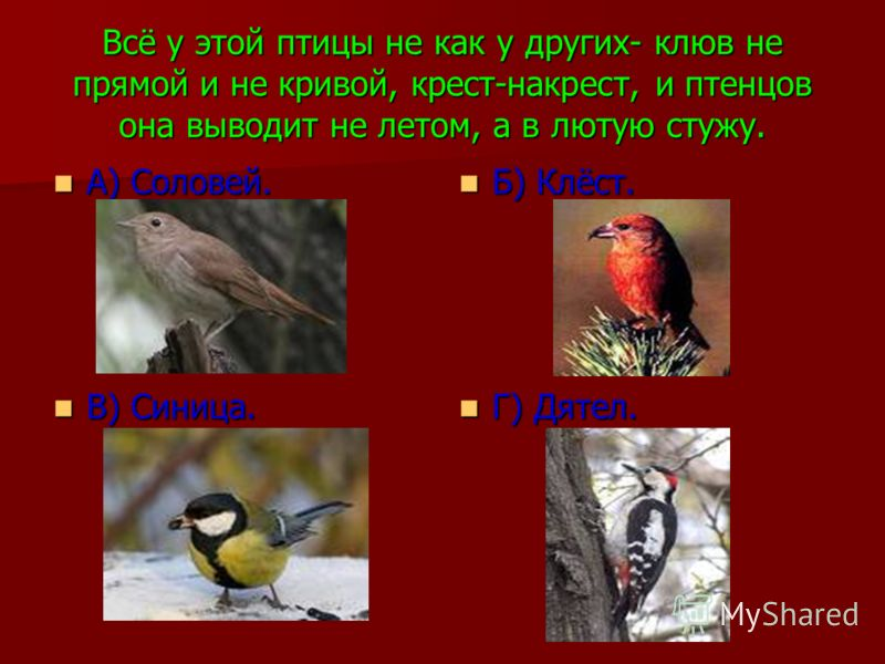 Всё у этой птицы не как у других- клюв не прямой и не кривой, крест-накрест, и птенцов она выводит не летом, а в лютую стужу. А) Соловей. А) Соловей. Б) Клёст. Б) Клёст. В) Синица. В) Синица. Г) Дятел. Г) Дятел.