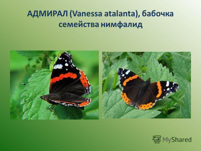 АДМИРАЛ (Vanessa atalanta), бабочка семейства нимфалид