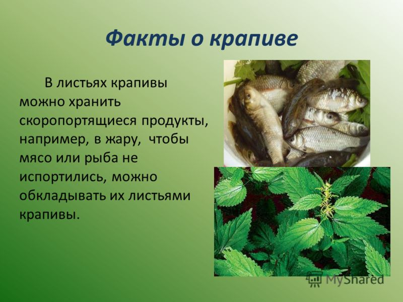Факты о крапиве В листьях крапивы можно хранить скоропортящиеся продукты, например, в жару, чтобы мясо или рыба не испортились, можно обкладывать их листьями крапивы.