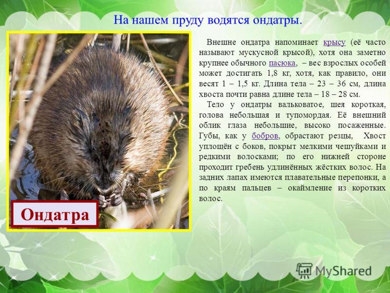 На нашем пруду водятся ондатры. Ондатра Внешне ондатра напоминает крысу ( её часто называют мускусной крысой ), хотя она заметно крупнее обычного пасюка, – вес взрослых особей может достигать 1,8 кг, хотя, как правило, они весят 1 – 1,5 кг. Длина тел