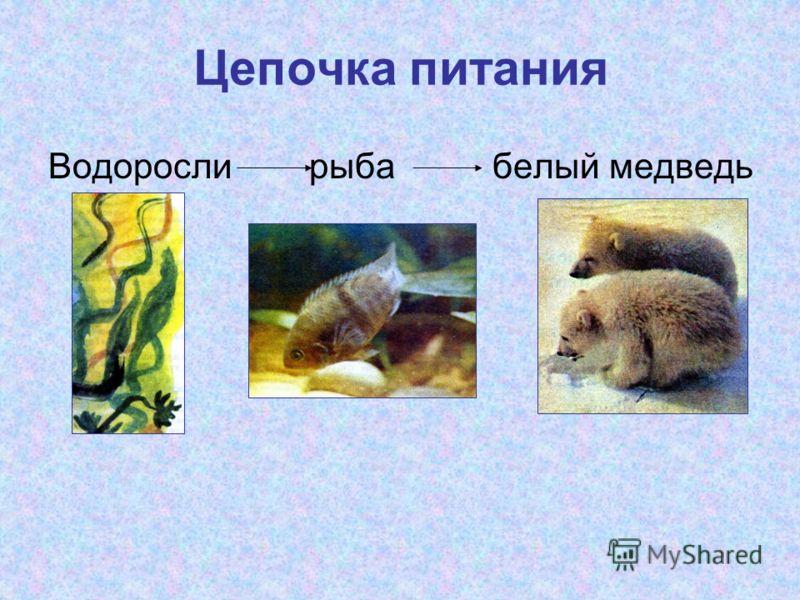 Цепочка питания Водоросли рыба белый медведь