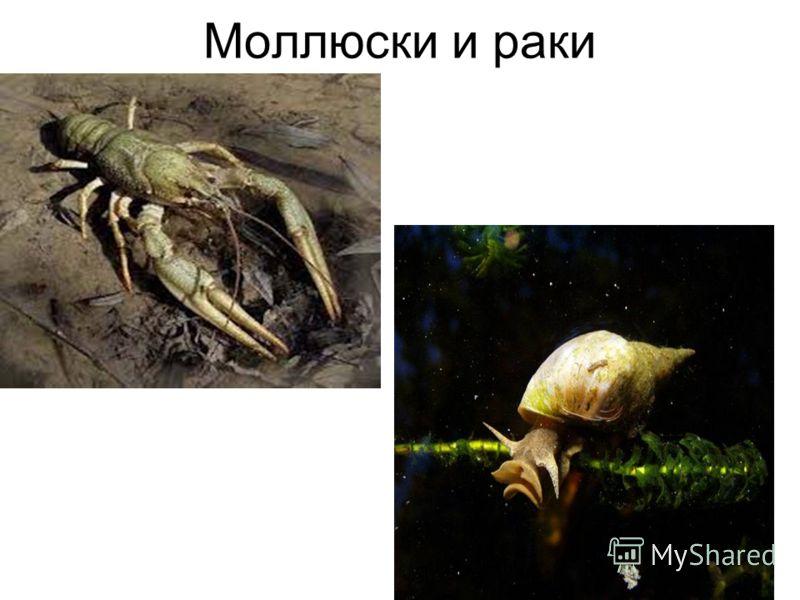 Моллюски и раки