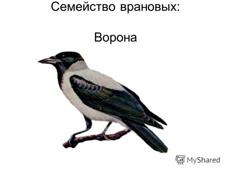 Семейство врановых: Ворона