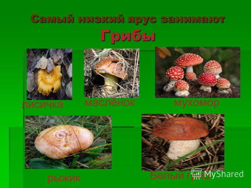 Самый низкий ярус занимают Грибы лисичка маслёнокмухомор рыжик Белый гриб