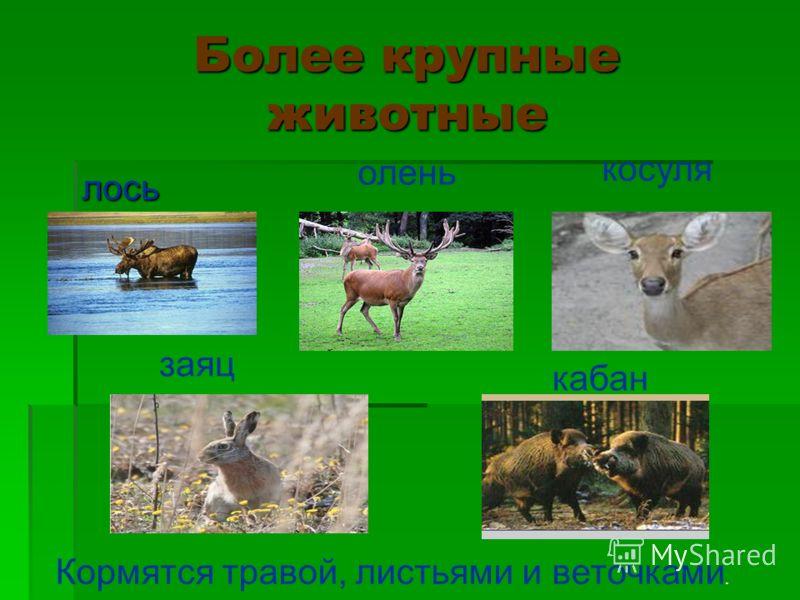 Более крупные животные лось олень косуля заяц кабан Кормятся травой, листьями и веточками.