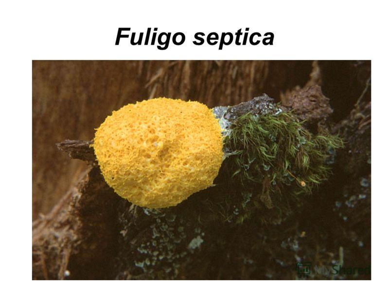 Fuligo septica