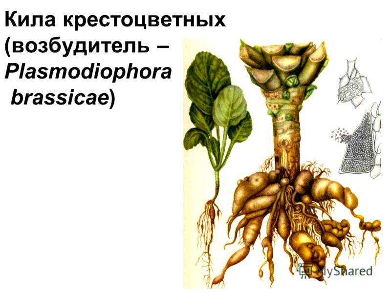 Кила крестоцветных (возбудитель – Plasmodiophora brassicae)
