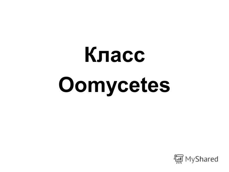 Класс Oomycetes