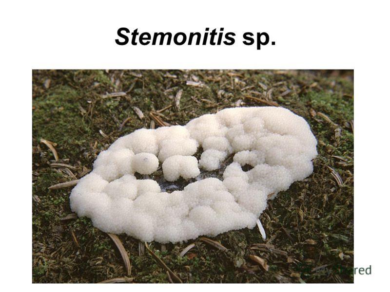 Stemonitis sp.