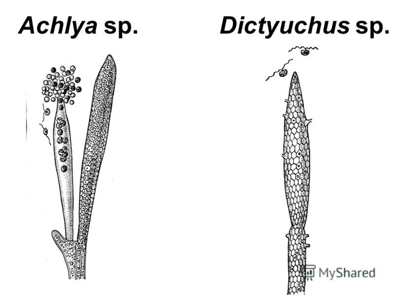 Achlya sp. Dictyuchus sp.