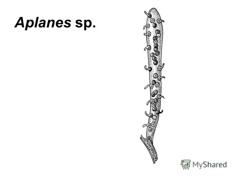 Aplanes sp.