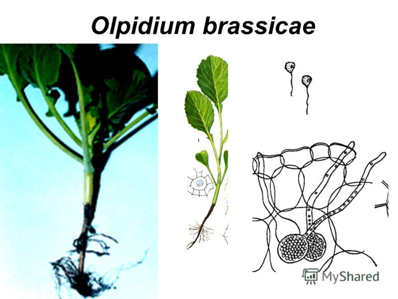 Olpidium brassicae