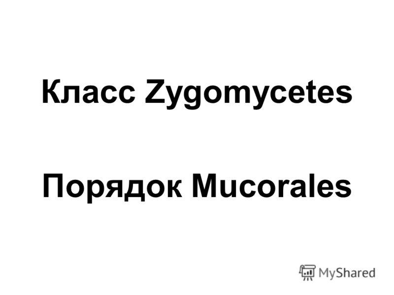 Класс Zygomycetes Порядок Mucorales