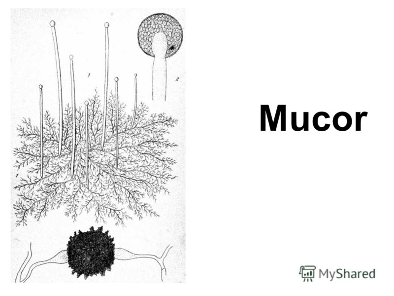 Mucor