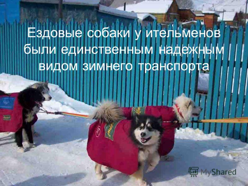 Ездовые собаки у ительменов были единственным надежным видом зимнего транспорта
