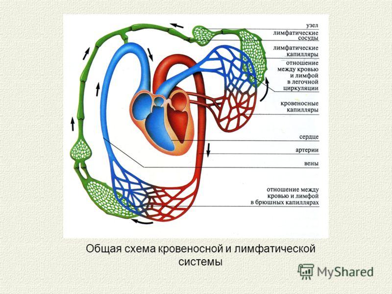 Общая схема кровеносной и лимфатической системы