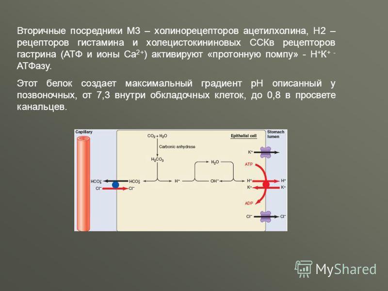 Вторичные посредники М3 – холинорецепторов ацетилхолина, Н2 – рецепторов гистамина и холецистокининовых ССКв рецепторов гастрина (АТФ и ионы Са 2+ ) активируют «протонную помпу» - Н + К + - АТФазу. Этот белок создает максимальный градиент pH описанны